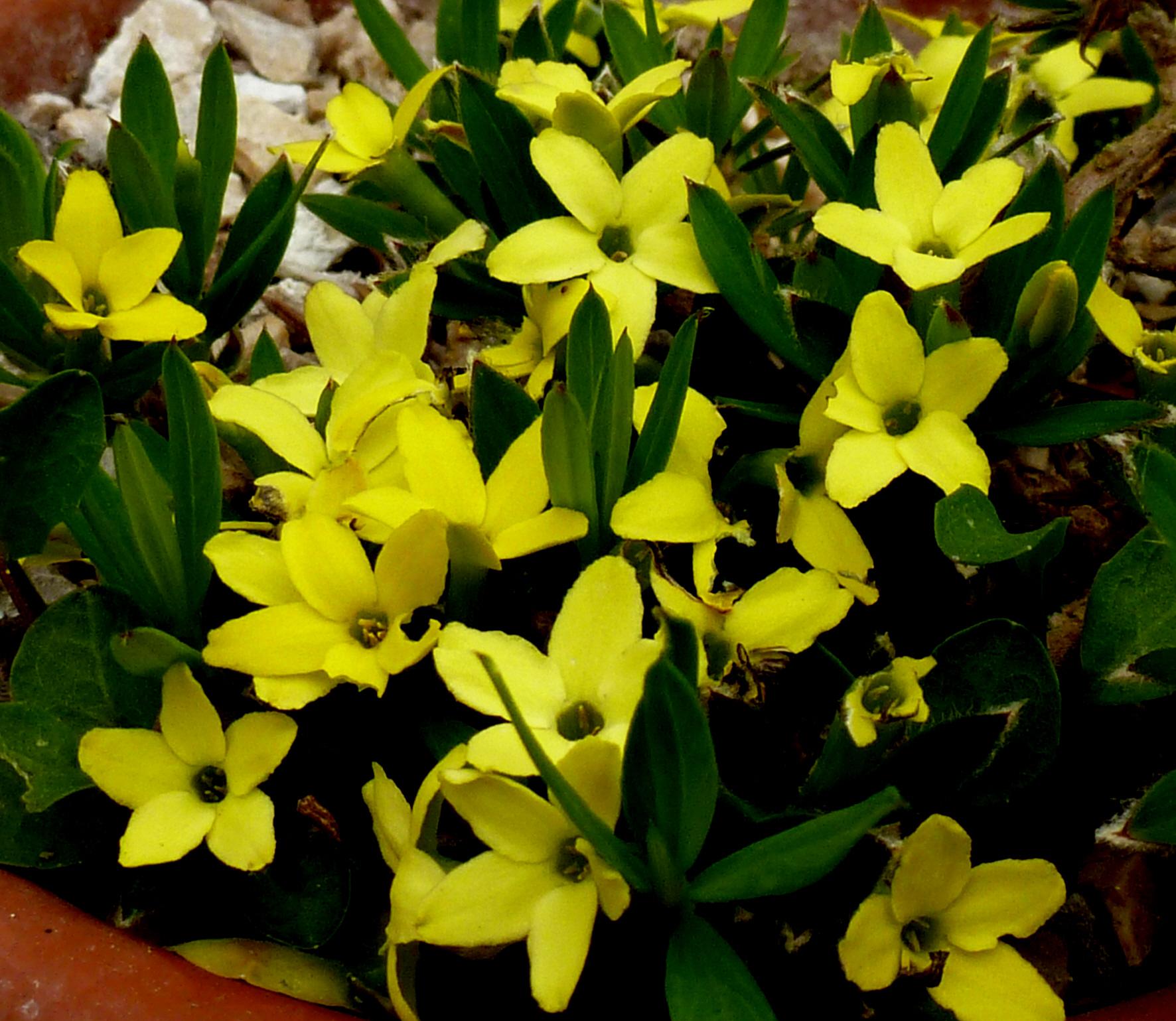 Cypripedium Floralpin Rare And Unusual Plants